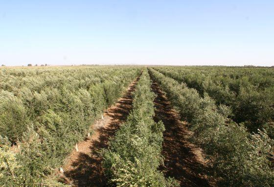 כרם זיתים של שמן זית ישראלי